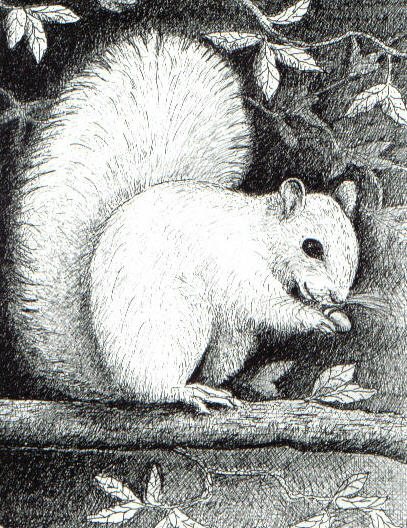 White Squirrel, found in Hendersonville NC, pen and ink drawing by Lee James Pantas